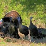 Texas Spring Turkey Season Opens Soon
