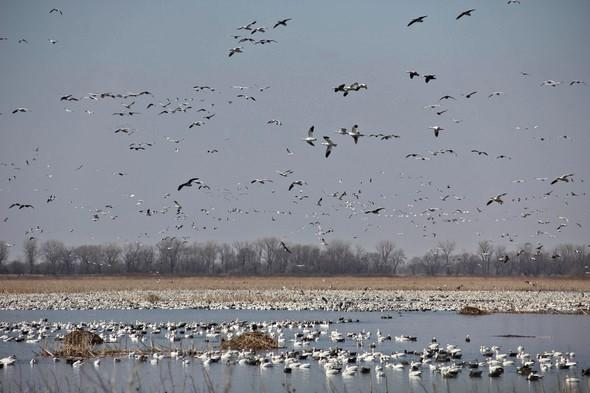Waterfowl And Shorebirds Are Spring Harbingers At Wetlands