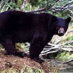 Minnesota Bear Hunt Applications Available Before May 4 Deadline